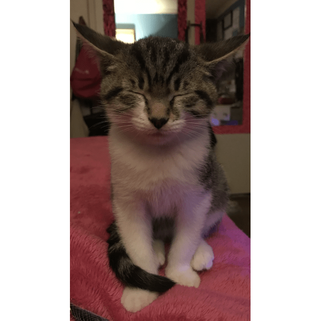 Photo of Stormi The Talented Tabby Kitten!