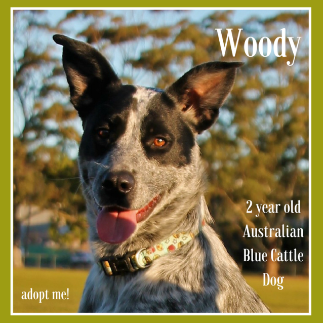 Photo of Woody ~ 2 Year Old Australian Blue Cattle Dog