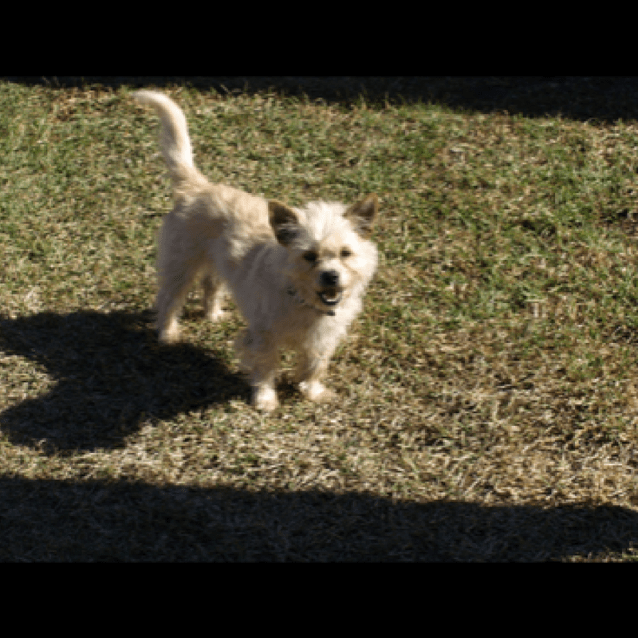 Photo of Spencer ~ 2 1/2 Year Old Maltese X Terrier