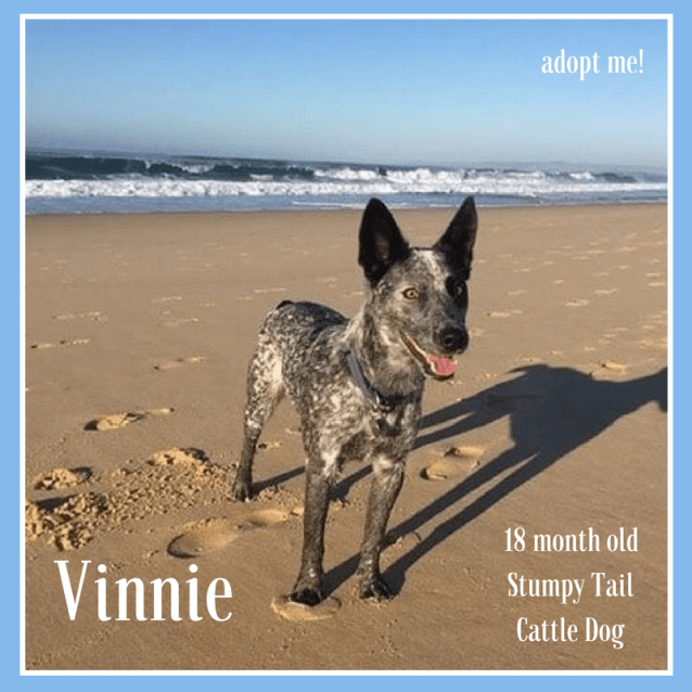 Photo of Vinnie ~ 18 Month Old Stumpy Tail Cattle Dog