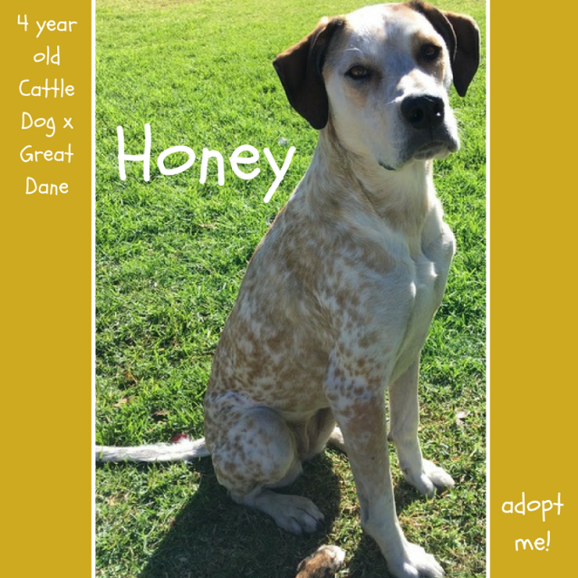 Photo of Honey ~Cattle Dog X Great Dane (On Trial 11/10/18)
