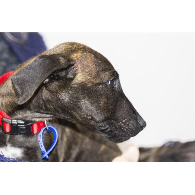 Photo of Opal ~ Sweet Staffy X Puppy