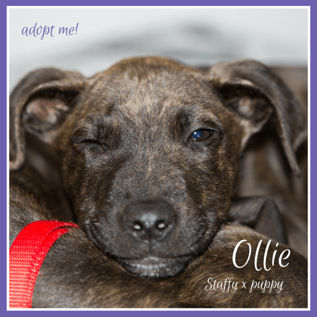 Photo of Ollie ~ Staffy X Puppy (On Trial 23/9/18)