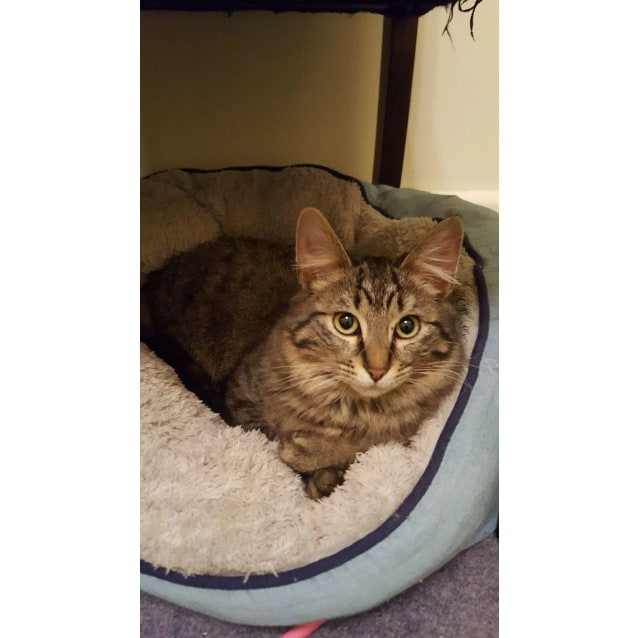 Photo of Benny Boy The Fluffy Tabby Kitty!
