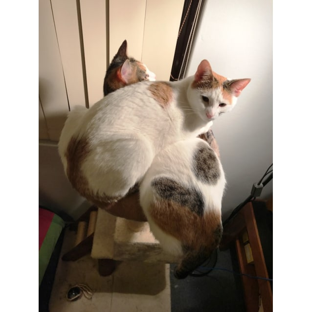 Photo of Coconut Calico Cat