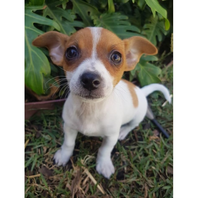 chiuaua jack russell terrier mix preston small female chihuahua x jack russell terrier 8974