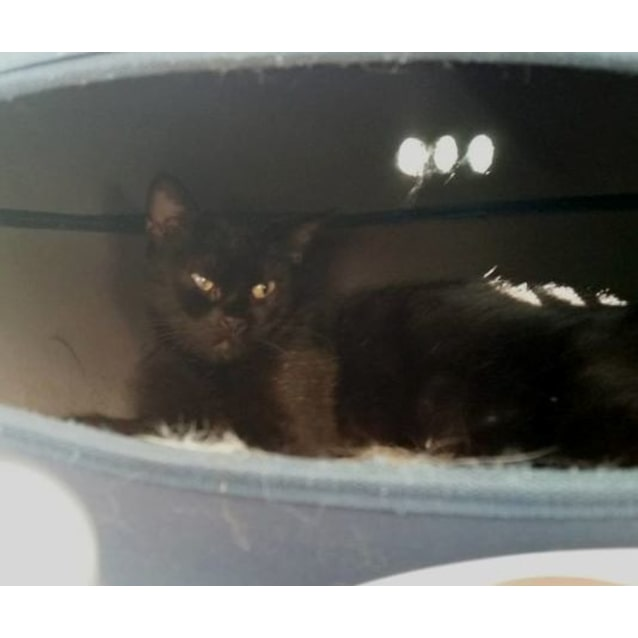 Photo of Jinx **2nd Chance Cat Rescue**