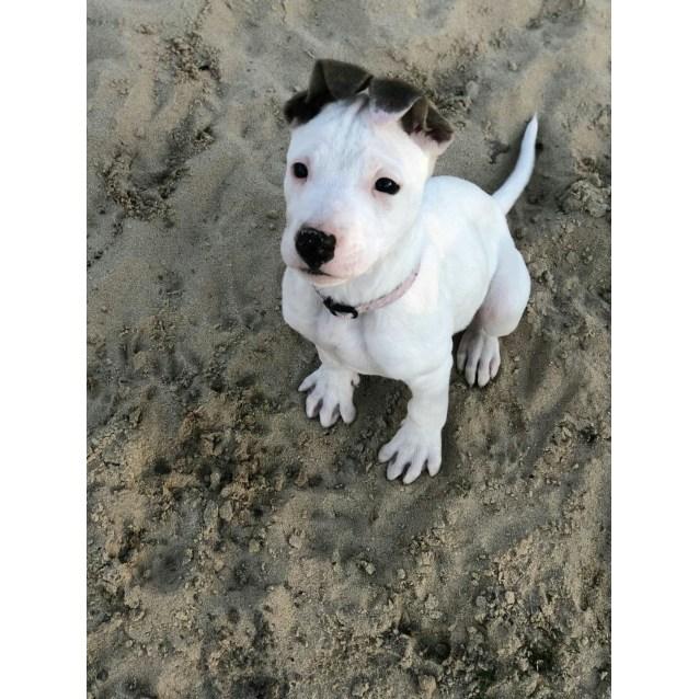 Photo of Kimba ~ Sweet Mastiff X Wolfhound Puppy