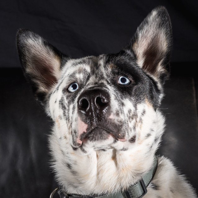 Photo of Bennie ~ Blue Heeler X Husky (On Trial 14/1/19)