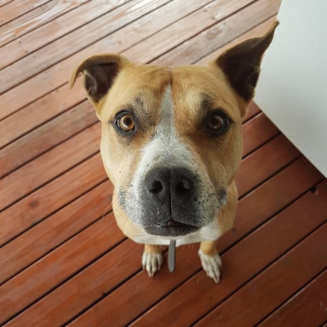 Photo of Marley ~ 5yo Friendly Amstaff Girl