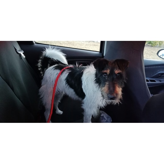 Photo of Pedro ** Pure Breed Fox Terrier **