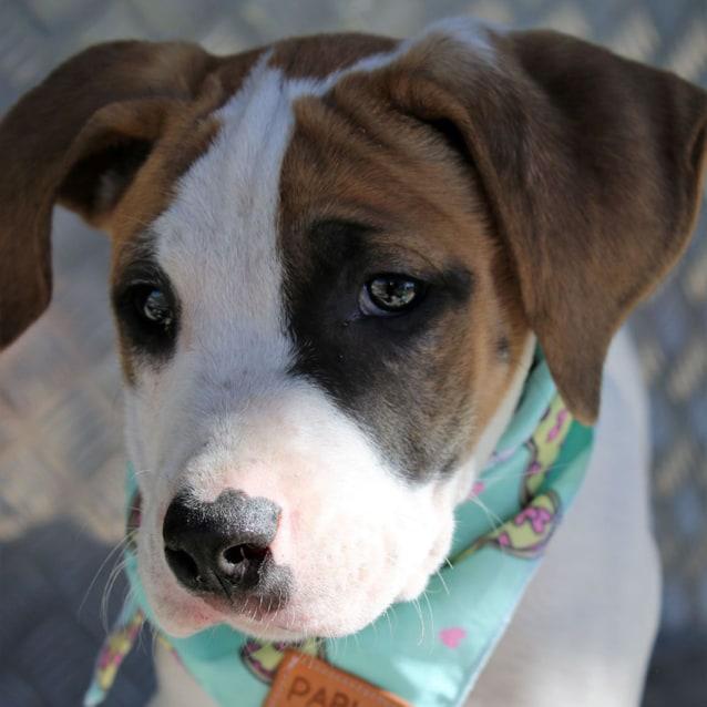 Photo of Pascale ~ Gorgeous Mastiff X Puppy