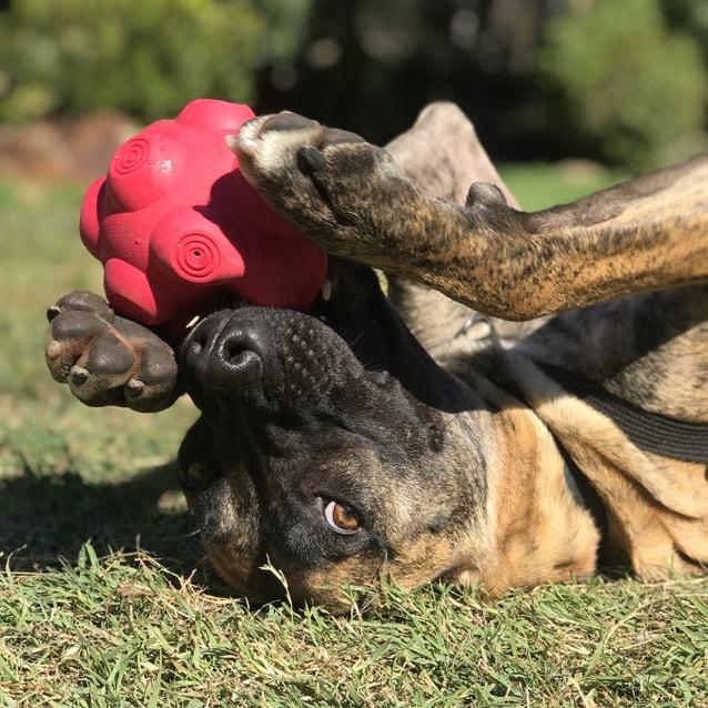Photo of Roxy ~ 1yo Loving Mastiff X