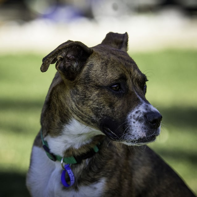 Photo of Keiko ~ 10mo Boxer X (On Trial 30/9/18)