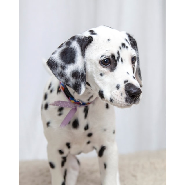 Photo of Devlyn ~ On Hold Pending Adoption 17/9/18