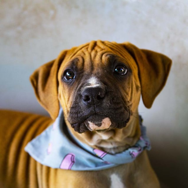 Photo of Penelope ~ Mastiff X Boxer Puppy (On Trial 15/9/18