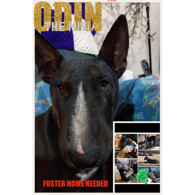 Photo of Odin   Foster Carer Needed