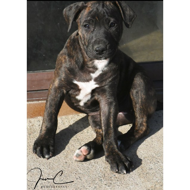 Photo of Pipper ** A Placid Gentle Puppy **