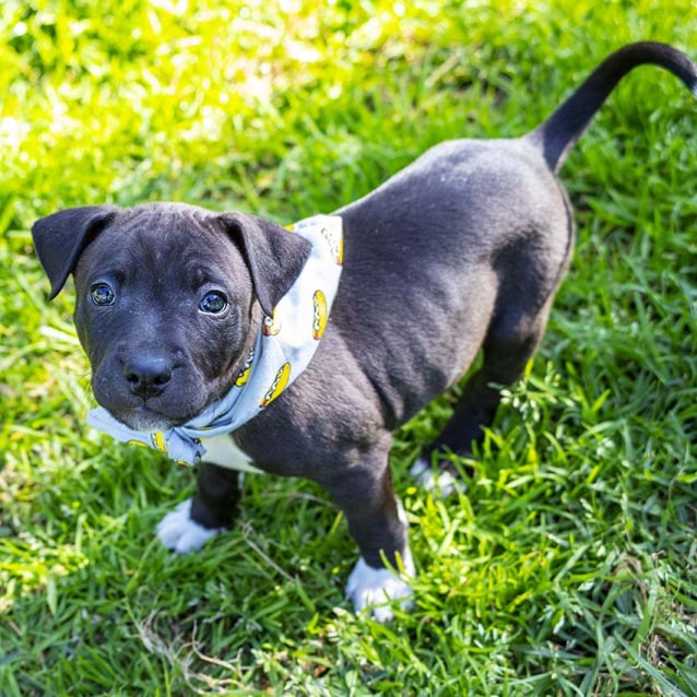 Photo of Lincoln ~ Staffy X (On Trial 14/10/18)