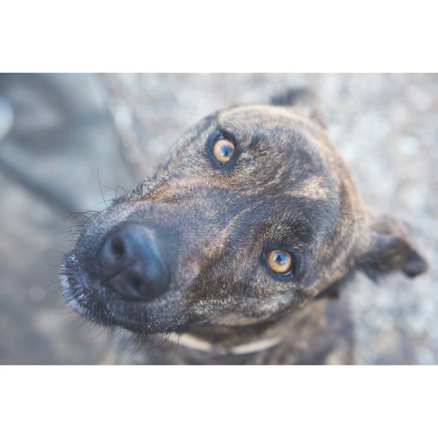 Photo of Hilda ~ Beautiful 2.5yo Mastiff X