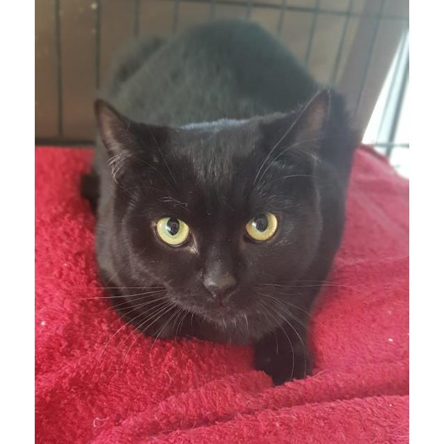 Photo of Mavis The Luxurious Pure Black Cat