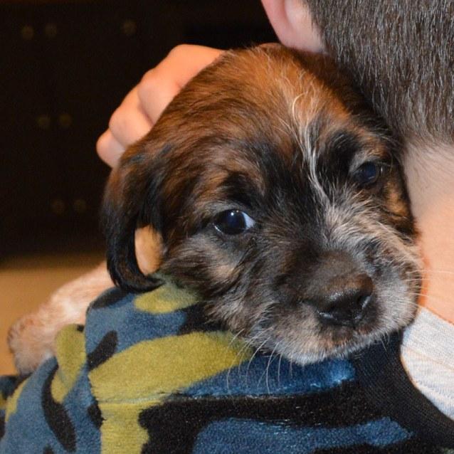 Photo of Roxy ~ Lovely Terrier X Cattledog Puppy