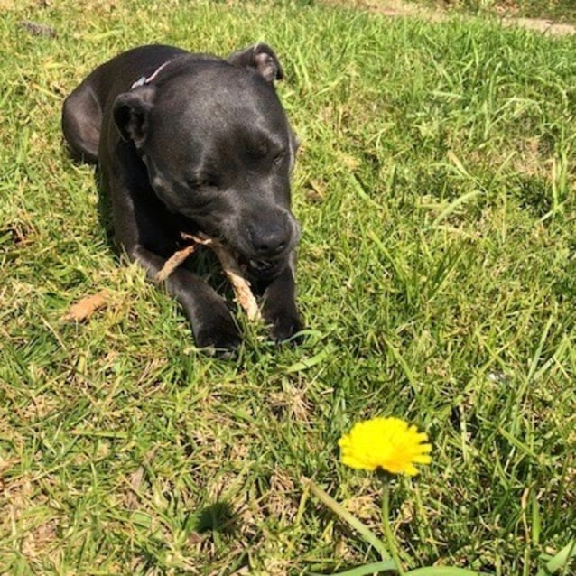 Photo of Sprinkles | Blue Staffy With Papers