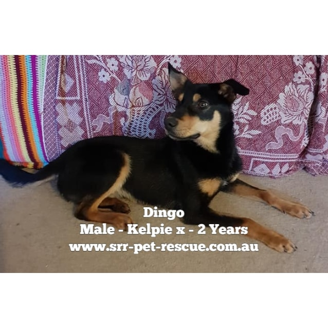 Photo of Dingo
