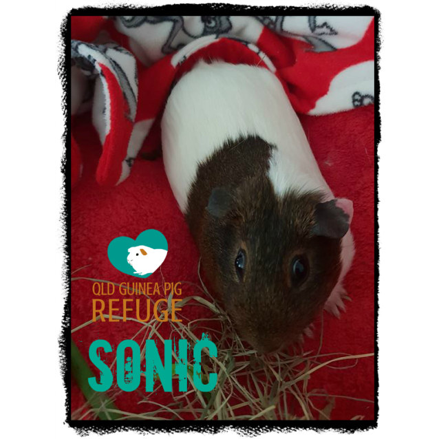 Photo of Sonic (Desexed Male)