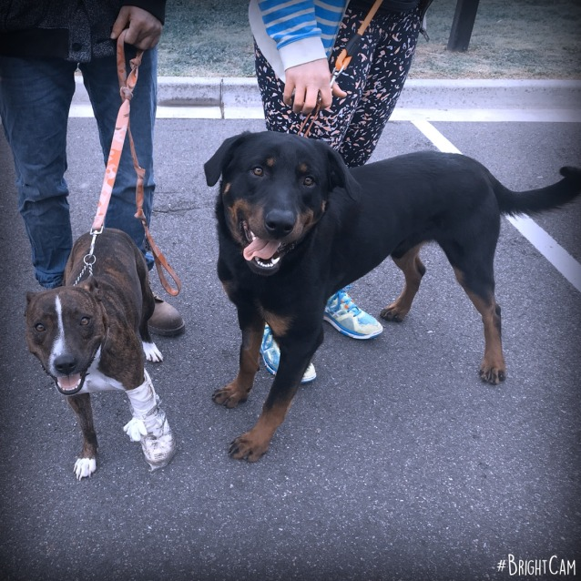 Photo of Bear Junior ** A Pure Breed Rottweiler **