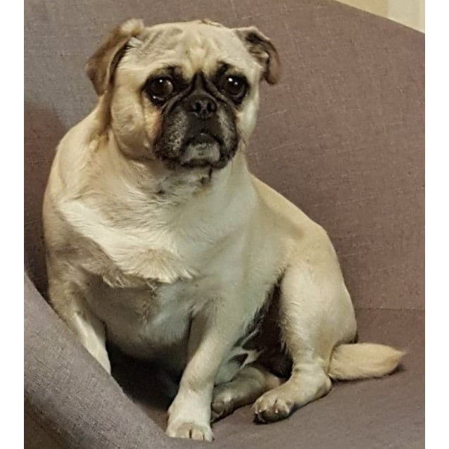 Photo of Doug The Pug