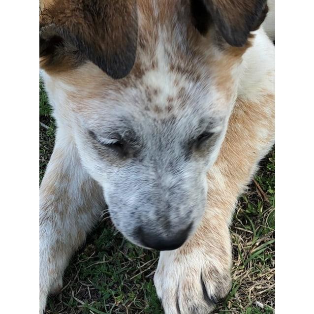 Photo of Lotus ~ Adorable Mastiff X Puppy