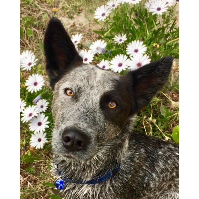 Photo of Vinnie ~ 18 Month Stumpy Tail Cattle Dog