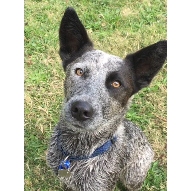 Photo of Vinnie ~ Cattle Dog (On Trial 28/12/18)