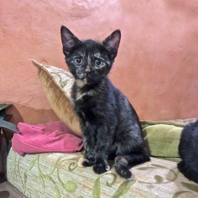 Photo of Sooky Girl Bmc0003 Adoption Pending
