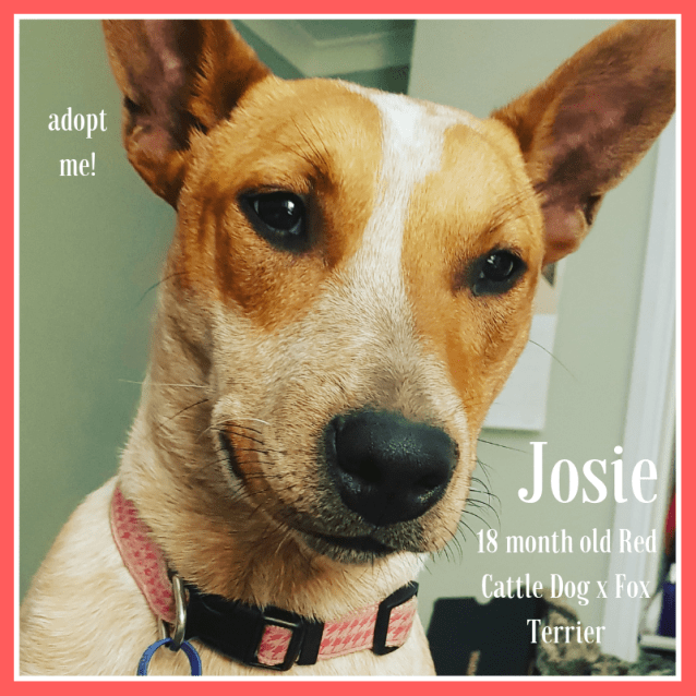 Photo of Josie ~ 18 Month Old Red Cattle Dog X Fox Terrier