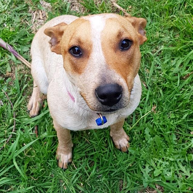 Photo of Josie ~ Cattle Dog X Terrier (On Trial 24/11/18)