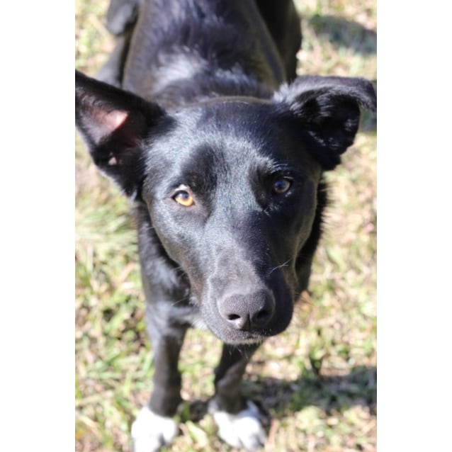 Photo of Bella ~ 12 Month Old Border Collie X Kelpie