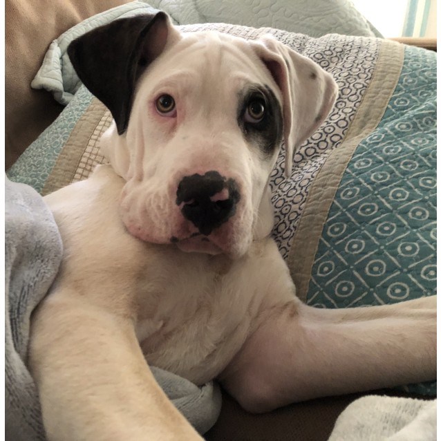 Photo of Charlie  ~ Mastiff X (On Trial 3/12/18)