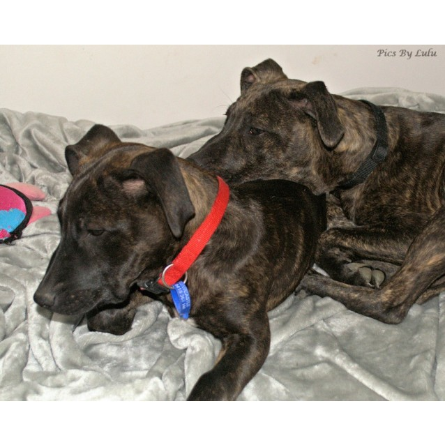 Photo of Opal ~ Staffy X Puppy (On Trial 28/10/18)