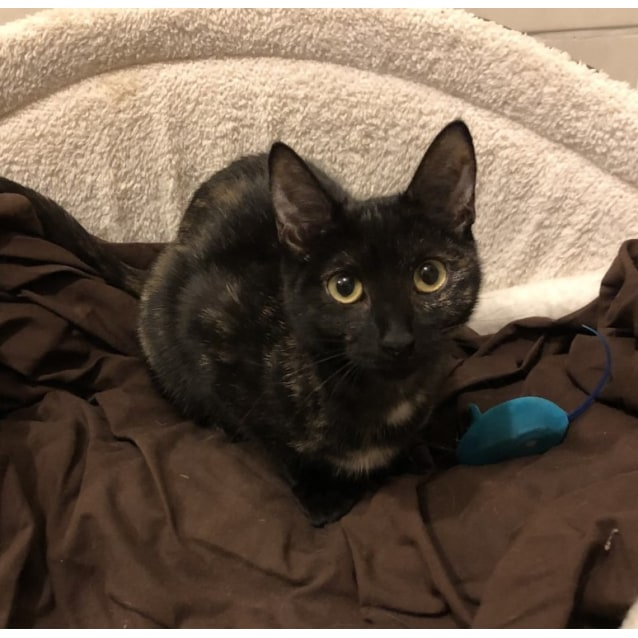 Photo of Bonnie **2nd Chance Cat Rescue**