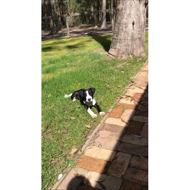 Photo of Millie ~ Bull Arab X Catahoula X Great Dane Puppy