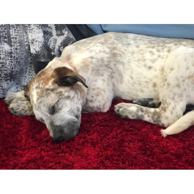 Photo of Khia ~ Mastiff X (On Trial 26/10/2018)