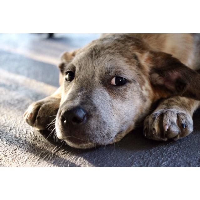 Photo of Khia ~ Cuddly Mastiff X Puppy