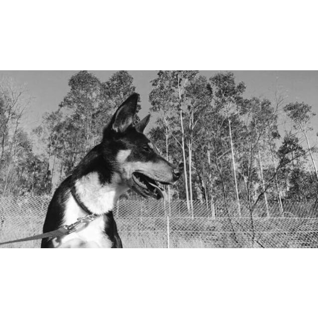 Photo of Milly ~ 16 Month Old Kelpie X