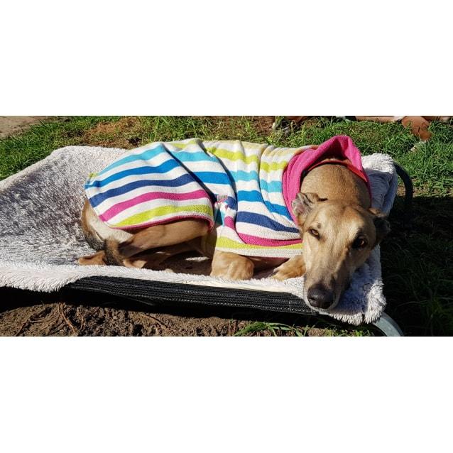 Photo of Fizz ~ Greyhound (On Trial 27/10/18)
