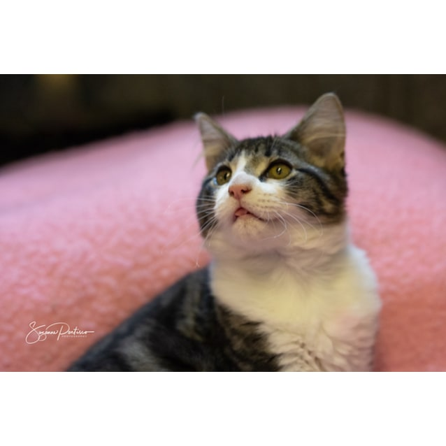 Photo of Dolly *The Perfectly Imperfect Kitten*
