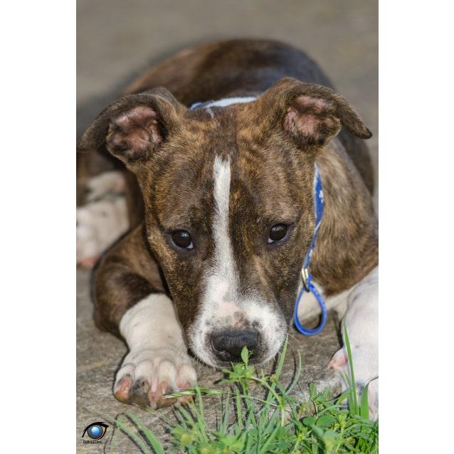 Photo of Boof ~ Staffy Puppy (Pend. Adoption)