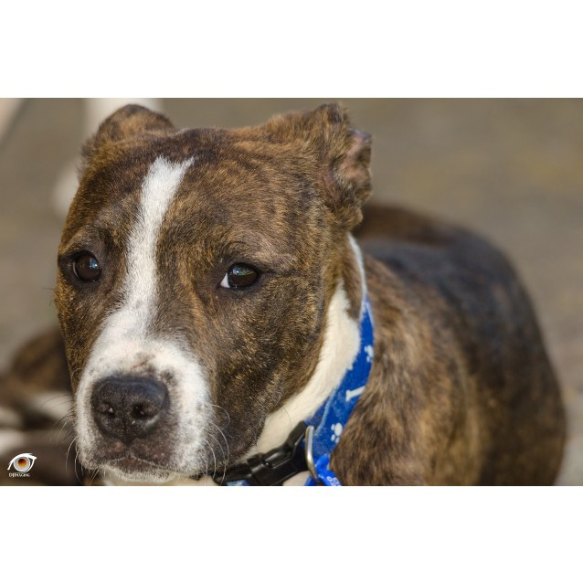 Photo of Boof ~ Staffy Puppy (On Trial 26/10/18)
