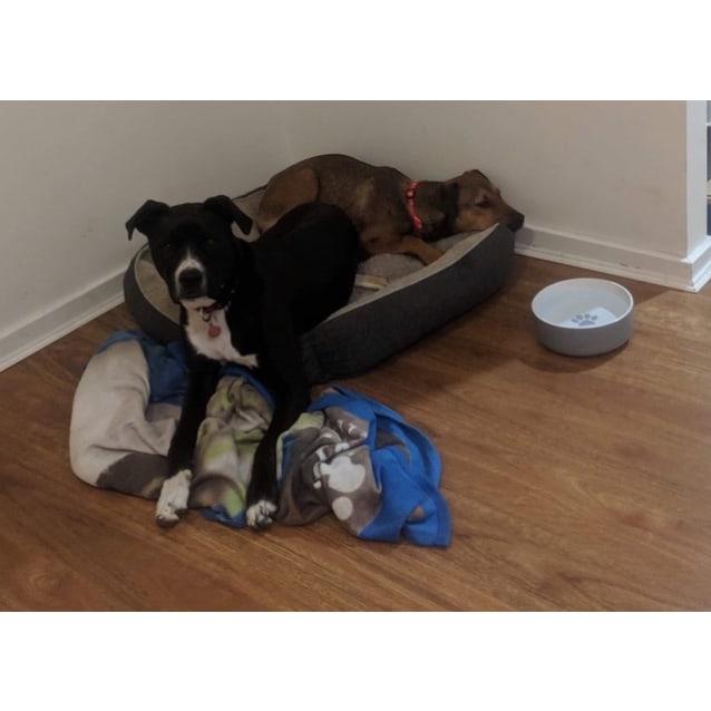 Photo of Elliott ~ 7 Month Old Rottweiler X Wolfhound